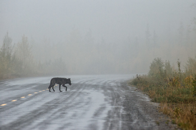 Black Wolf on paved road in the rain ~ Alaska Highway ~ Yukon ~ Canada