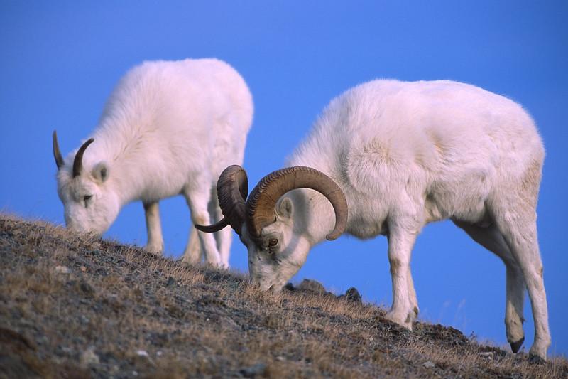 White dall sheep ram and ewe  feeding on grasses on Kluane Mountian, near the Alaska hwy, Kluane National Park, Yukon