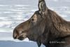Profile of a female moose