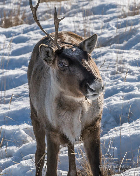 Caribou with one antler