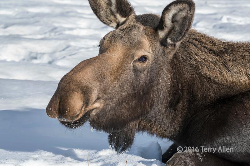 Portrait of a female moose 2, Yukon Wildlife Preserve, Whitehorse, Yukon Territories