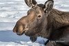 Portrait of a female moose 2, Yukon Wildlife Preserve, Whitehorse, Yukon Territories
