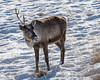 One horned caribou with snow and dried grasses, Whitehorse, Yukon Territories