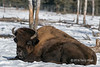 Large bison snoozing in the sun at the Yukon Wildlife Preserve, Whitehorse, Yukon Territories