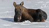 Bull moose with newly shed antlers, Yukon Wildlife Preserve, Whitehorse, Yukon Territories