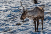 One-horned Boreal Woodland Caribou in the snow and dried grasses, near Whitehorse, Yukon Territories