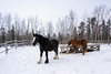 Horses in winter, Sky High Wilderness Ranch, Whitehorse, Yukon Territory