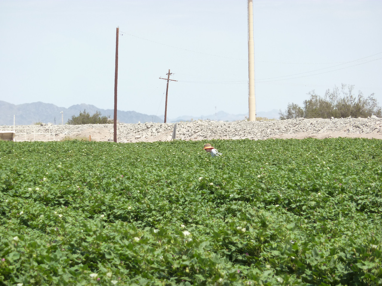 Abby searching for a downed bird amonst the high cotton.