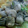 Oysters are fresh and juicy -- Ah Orh Seafood@115 Jalan Bukit Merah