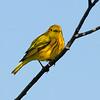 Paruline jaune_DSC0231.jpg