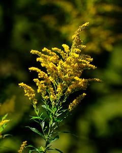 fleur verge dor_DSC0019.jpg
