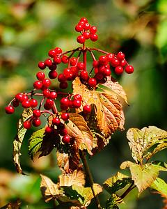 arbre viorne_DSC0031.jpg