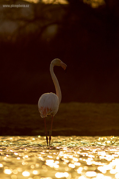 Plameňák růžový - Greater Flamingo (Phoenicopterus ruber)