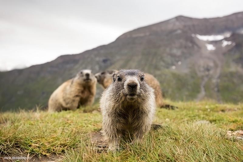 Svišť horský - Alpine Marmot (Marmota marmota)