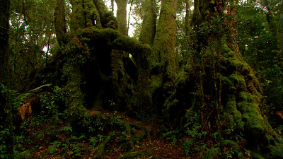 Antarctic Beech | Lamington