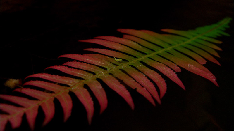 Red Fern | Lamington