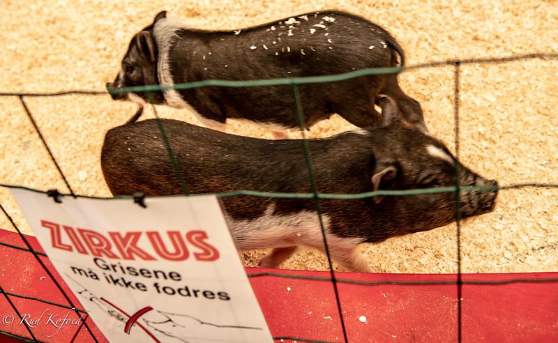 De små nysgerrige grise er de første, der modtager publikum rundt om manegen