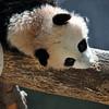 BABY PANDA UPSIDE DOWN