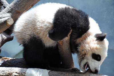 BABY PANDA EATING TREE