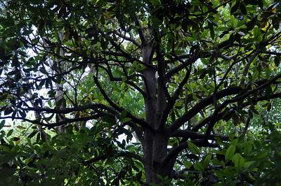 SAVAHNNA TREE