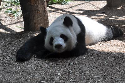 PANDA LAYING DOWN