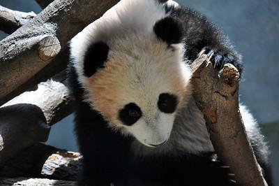 BABY PANDA IN TREE