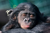 Baby Bonobo - Friday, March 14, 2014 - The Columbus Zoo and Aquarium located in Columbus, Ohio