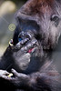 Western Lowland Gorilla - Friday, March 14, 2014 - The Columbus Zoo and Aquarium located in Columbus, Ohio