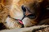 African Lion - Friday, March 14, 2014 - The Columbus Zoo and Aquarium located in Columbus, Ohio