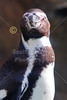 Humboldt Penguin - Friday, March 14, 2014 - The Columbus Zoo and Aquarium located in Columbus, Ohio