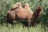 Bactrian Camel - Thursday, June 4, 2011 - The Wilds located in Cumberland, Ohio