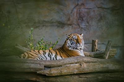 Tiger / Tygr