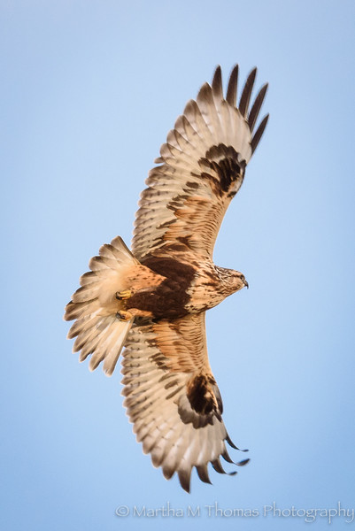 Rough Legged Hawk Flying
