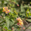In this climate verbena isn't an annual, and grows as a shrub.  And butterflies love it.