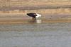 African_Fish_Eagle_Kaingo_Zambia0012
