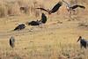 African_Fish_Eagle_Marabou_Kaingo_Zambia0003