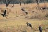 African_Fish_Eagle_Marabou_Kaingo_Zambia0005