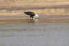 African_Fish_Eagle_Kaingo_Zambia0010