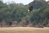 Fish_Eagle_Kaingo_Zambia__0042