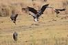 African_Fish_Eagle_Marabou_Kaingo_Zambia0008