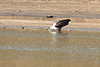 African_Fish_Eagle_Kaingo_Zambia0005