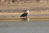 African_Fish_Eagle_Kaingo_Zambia0009