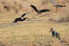African_Fish_Eagle_Marabou_Kaingo_Zambia0007