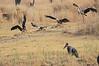 African_Fish_Eagle_Marabou_Kaingo_Zambia0006