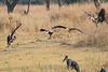 African_Fish_Eagle_Marabou_Kaingo_Zambia0001