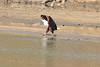 African_Fish_Eagle_Kaingo_Zambia0003
