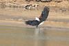 African_Fish_Eagle_Kaingo_Zambia0002