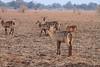 Waterbuck_Kaingo_Zambia0001