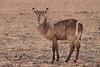 Waterbuck_Kaingo_Zambia0003