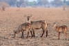 Waterbuck_Kaingo_Zambia0002